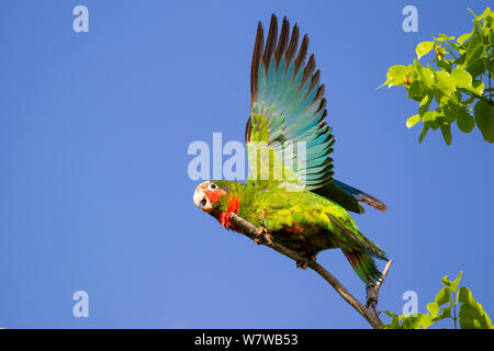 Kubanische Amazon (Amazona leucocephala), Grand Cayman Island, Cayman Islands. - Stockfoto