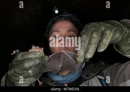 Dr. Danielle Linton Inspektion der Flügel einer größeren Hufeisennase (Rhinolophus ferrumequinum) auf Schäden und Parasiten während der Winterruhe Umfrage in eine alte Badewanne aus Stein Mein, Wiltshire, UK, Februar. Model Released. - Stockfoto