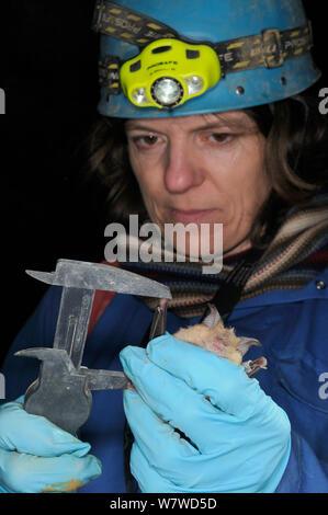 Dr. Fiona Mathews mit Bremssätteln an den Flügel Knochen eines größeren Hufeisennase (Rhinolophus ferrumequinum) während der Winterruhe Umfrage in eine alte Badewanne aus Stein Mein, Wiltshire, UK, Februar messen. Model Released. - Stockfoto