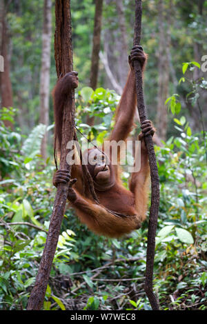 Bornesischen Orang-utan (Pongo pygmaeus) Seile klettern, Nyaru Menteng Care Center, Central Kalimantan, Borneo. - Stockfoto