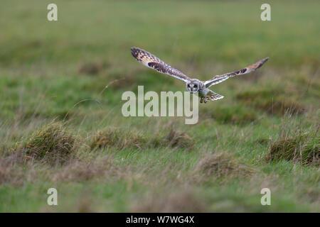 Short eared owl (Asio Flammeus) im Flug, bretonische Marsh, Frankreich, Januar. - Stockfoto