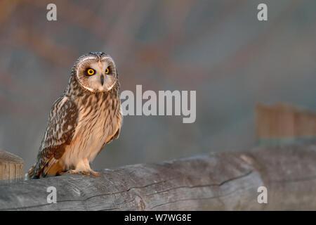 Short eared owl (Asio Flammeus) auf Zaun gehockt, bretonischen Sumpf, Frankreich, Dezember. - Stockfoto