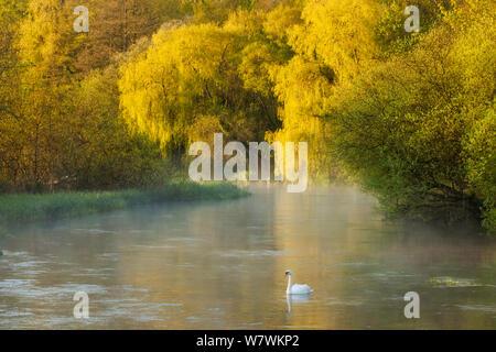 Höckerschwan (Cygnus olor) auf dem Fluss Itchen im Morgengrauen, Ovington, Hampshire, England, UK, Mai 2012. - Stockfoto