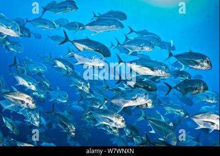Schule der riesigen stachelmakrelen (Caranx Ignobilis) im offenen Wasser aus der Wand am Shark Reef, Ras Mohammed Marine Park, Sinai, Ägypten. Das rote Meer. - Stockfoto