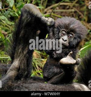 Berggorilla (Gorilla beringei beringei) Baby spielt mit Mutter 's Fuß, Ruanda, Afrika. - Stockfoto