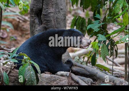 Bornesischen sun bear (Helarctos malayanus euryspilus) an Bornesischen Sun Bear Conservation Centre (BSBCC), Sepilok, Sabah, Borneo. - Stockfoto