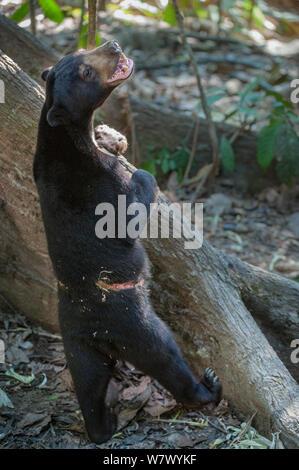 Bornesischen sun bear (Helarctos malayanus euryspilus) mit entsetzlichen Narben von gefangen gehalten mit einer Kette um seine Taille. Bornesischen Sun Bear Conservation Centre (BSBCC), Sepilok, Sabah, Borneo. - Stockfoto