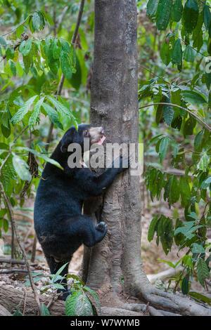 Bornesischen sun bear (Helarctos malayanus euryspilus) beginnend Baum an Bornesischen Sun Bear Conservation Centre (BSBCC), Sepilok, Sabah, Borneo zu klettern. - Stockfoto