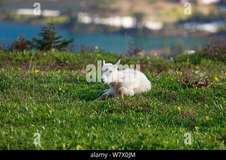 Junge Schneeziege (Oreamnos americanus), Glacier National Park, Montana, Rocky Mountains, Juli. - Stockfoto