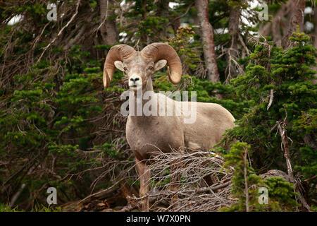 Bighorn Schafe (Ovis canadensis), Glacier National Park, Montana, Rocky Mountains, Juli. - Stockfoto