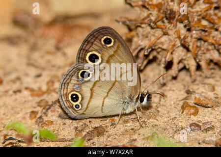 Wenig Holz Satyr (Megisto Natiional cymela) Sabine Wald, Hemphill, Sabine County, Texas, USA. Stockfoto