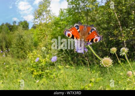 Tagpfauenauge (Inachis io) Fütterung auf Feld-witwenblume (Knautia arvensis) in einem Kalksteinbruch. Nationalpark Peak District, Derbyshire, UK. August. - Stockfoto