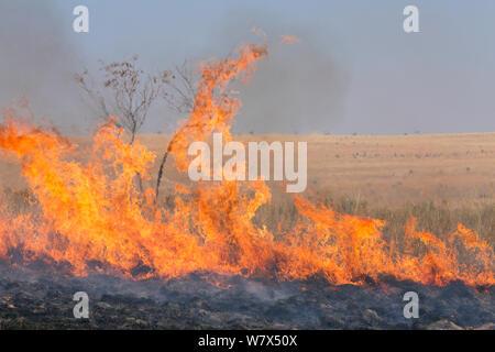 Brandanschlag von Landwirt, Migration von Heuschrecken (Locusta Migratoria Capito) zu töten. Sehr oft wird das Feuer außer Kontrolle Gerät und zerstört viele Hektar Grasland. In der Nähe von Isalo Nationalpark, Madagaskar. August 2013. - Stockfoto