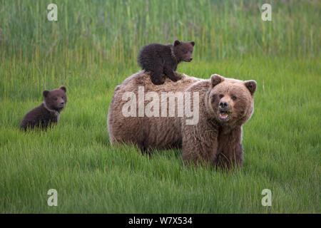 Grizzly Bear-/Küstenbereich Braunbär (Ursus arctos Horribilis) Mutter mit zwei Jungen, ein Reiten auf dem Rücken, Lake Clark National Park, Alaska, USA. Juni. - Stockfoto