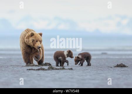 Grizzly Bear-/Küstenbereich Braunbär (Ursus arctos Horribilis) Mutter mit Spring cubs Graben für Muscheln auf Wattflächen, Lake Clark National Park, Alaska, USA. Juni. - Stockfoto