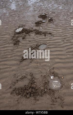 Löcher im Sand von Grizzly Bear-/Küstenbereich Braunbär (Ursus arctos Horribilis) Graben für Muscheln im Wattenmeer links, Lake Clark National Park, Alaska, USA. Juni 2013. - Stockfoto