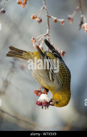 Pine Grosbeak (Pinicola Enucleator), Weibliche hängenden Kopf und Fütterung auf Beeren, Finnland. Februar. - Stockfoto