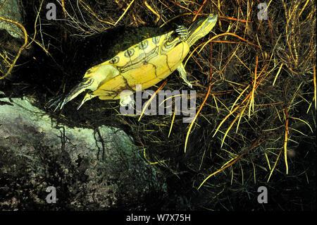Mesoamerikanischen Schieberegler (TRACHEMYS SCRIPTA venusta) versteckt sich in die Pflanzen an der Oberfläche der Cenote, Auto waschen Cenote Aktun Ha/, Mexiko. Halbinsel Yucatan. - Stockfoto