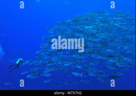Taucher vor einer Schule von Großaugen Makrelen/Buchsen (Caranx sexfasciatus), Cocos Island, Costa Rica. Im pazifischen Ozean. Dezember 2010. - Stockfoto