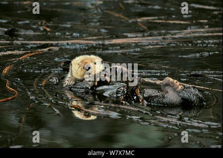 Seeotter (Enhydra Lutris) schwimmt auf dem Rücken an der Oberfläche unter Seetang, Alaska, USA. Golf von Alaska, Pazifischen Ozean. - Stockfoto
