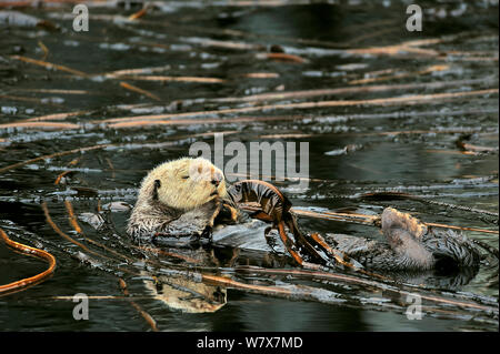 Seeotter (Enhydra lutris) schwimmend auf dem Rücken an der Oberfläche unter den Seetang, Alaska, USA, Golf von Alaska. Im pazifischen Ozean. - Stockfoto