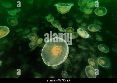 Eine Vielzahl von Mond Qualle (Aurelia Labiata), Alaska, USA, Golf von Alaska. Pazifischen Ozean.