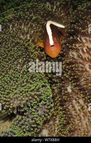 Orange anemonenfischen Amphiprion (sandaracinos) im Meer der Merten Anemone, Manado, Indonesien. Sulawesi Meer. - Stockfoto
