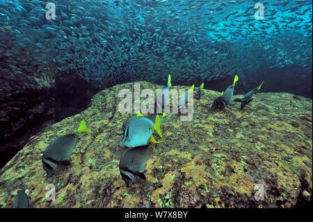 Yellowtail Doktorfische (Prionurus punctatus) weiden Algen mit einer Schule von Jack Makrelen (Trachurus symmetricus) Halbinsel Baja California, Mexiko. Meer von Cortez. - Stockfoto