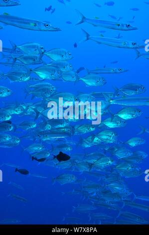 Schule des Blauen Makrelen/Buchsen (Carangoides ferdau) mit großaugenthun Barrakudas (Sphyraena forsteri) Palau gemischt. Philippinischen Meer. - Stockfoto