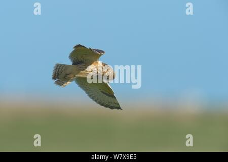 Sumpfohreule (Asio Flammeus) im Flug, bretonische Marsh, Frankreich, Februar. - Stockfoto