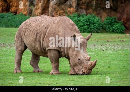 Weiße Nashörner (Rhinocerotidae)) weibliche Beweidung, Parque de la Naturaleza de Cabárceno Park, Kantabrien, Spanien. Captive, tritt im südlichen Afrika. - Stockfoto