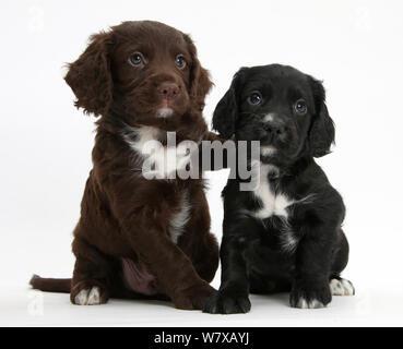 Schwarz und Chocolate Cocker Spaniel Welpen. - Stockfoto