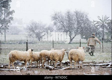 Schafe im Schnee auf einem Bauernhof in Nieuwoudtville, der erste Schnee in dieser Stadt seit 2005. Northern Cape, Südafrika, August 2013. - Stockfoto
