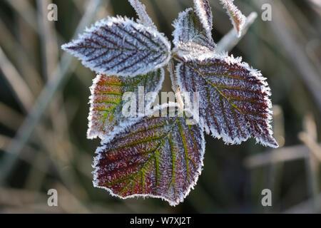 Frost auf Black (Rubus fruticosus) Blätter, Vogesen, Frankreich, März. - Stockfoto