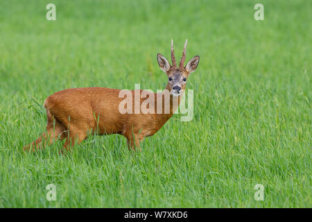 Reh (Capreolus capreolus) Buck in Feld/Weide, mit der Lippe eingerollt. Vikna, Nord-Trondelag, Norwegen. Juli. - Stockfoto