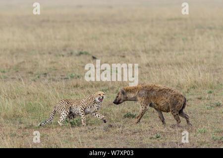 Juvenile Geparden (Acinonyx jubatus) knurrend an Tüpfelhyäne (Crocuta crocuta) Masai-Mara Game Reserve, Kenia. - Stockfoto