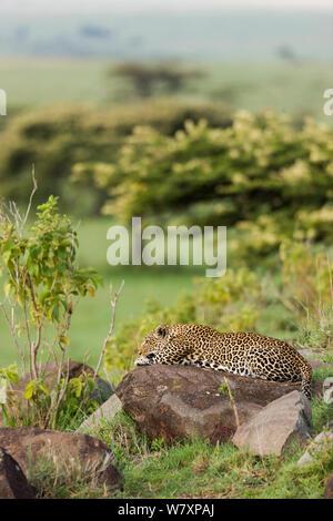 Leopard (Panthera pardus) Weibliche ruht auf Rock, Masai-Mara Game Reserve, Kenia. - Stockfoto