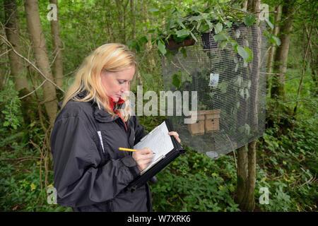 Lorna Griffiths von Nottinghamshire Wildlife Trust Aufzeichnung von Details der Hazel haselmäuse (Muscardinus avellanarius), die zu einer &#39 eingeführt wurden; Soft Release ' Käfig in Nistkästen innerhalb einer alten coppiced Woodland, Nottinghamshire, UK, Juni. Model Released. - Stockfoto