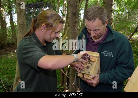 Clare Stalford der Wildwood Vertrauen aus Drahtgeflecht vom Eingang Loch in einem Nest Box mit ein paar Hazel haselmäuse (Muscardinus avellanarius), von Ian White, Siebenschläfer officer für die Menschen's Vertrauen für gefährdete Arten, bevor Sie es in eine ' Soft Release ' Käfig zu einem Baum in Coppiced alten Wald befestigt, Nottinghamshire, UK, Juni. Model Released. - Stockfoto