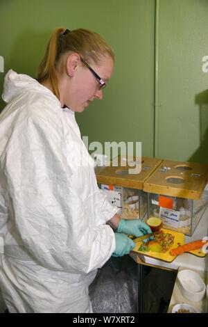 Gemma Keohane Vorbereiten der Nahrung für Hazel haselmäuse (Muscardinus avellanarius) vor Release ein nottinghamshire Holz, Siebenschläfer Aufzucht, Paignton Zoo, Devon, UK, Juni 2014. Model Released. - Stockfoto