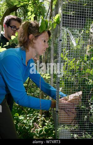 Freiwillige Zoe Phillips ein Nest mit einem Paar von Hazel haselmäuse (Muscardinus avellanarius) und einen leeren Kasten in einem ' Soft Release ' Käfig zu einem Baum in Coppiced alten Wald befestigt, Nottinghamshire, UK, Juni. Model Released. - Stockfoto