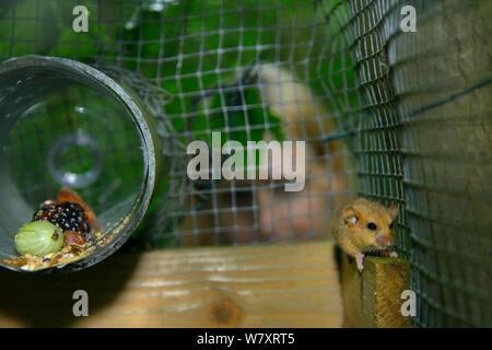 Lorna Griffiths von Nottinghamshire Wildlife Trust, eine Haselmaus (Muscardinus avellanarius) Ein &#39 erkunden; Soft Release ' Käfig. Nottinghamshire, UK, Juni. Model Released. - Stockfoto