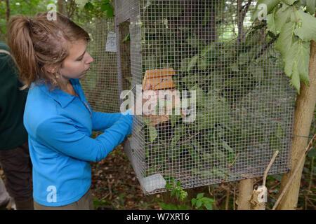 Freiwillige Zoe Phillips ein Nest mit einer Haselmaus (Muscardinus avellanarius) innen in eine ' Soft Release ' Käfig zu einem Baum in Coppiced alten Wald befestigt, Nottinghamshire, UK, Juni. Model Released. - Stockfoto