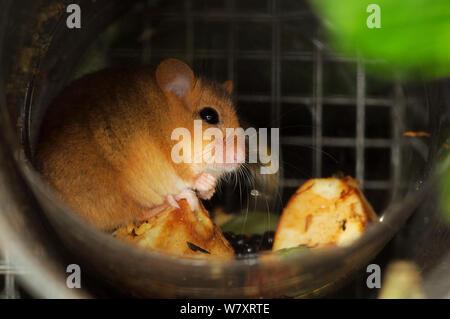 Haselmaus (Muscardinus avellanarius) Nahrungssuche in der Einfüllöffnung mit frischen Früchten und Samen innerhalb einer 'soft release ' Käfig. Nottinghamshire, UK, Juni. - Stockfoto