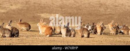 Gruppe von Alert erwachsenen Kaninchen, Okunoshima' Rabbit Island', Takehara, Hiroshima, Japan. - Stockfoto