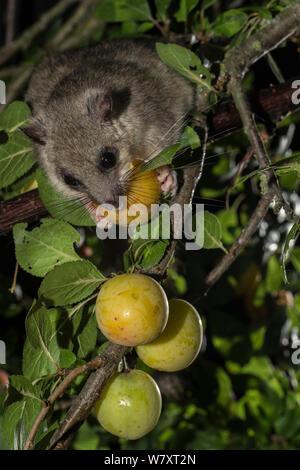 Genießbare Siebenschläfer (Glis Glis) Fütterung auf mirabellen (Prunus domestica), Niedersachsen, Deutschland, Captive, Juli. - Stockfoto