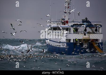 Fischereifahrzeugs' Ocean Harvest ' Abrufen von Net, von basstölpel (Morus bassanus) und eine Vielzahl von Möwen, während die Fischerei in der Nordsee, Februar 2014 umgeben. Alle nicht-redaktionelle Verwendungen muß einzeln beendet werden. - Stockfoto