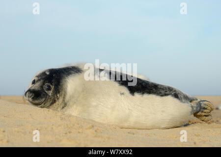 Low Angle View einer Häutung Grau seal Pup (Halichoerus grypus) liegen auf einem Sandstrand, Norfolk, UK, Januar. - Stockfoto