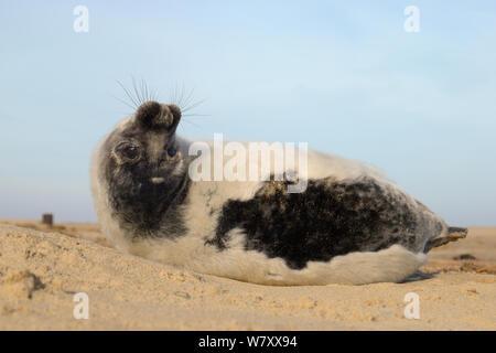 Low Angle View einer Häutung Grau seal Pup (Halichoerus grypus) rollen und Rückwärts suchen beim Liegen an einem Sandstrand, Norfolk, UK, Januar. - Stockfoto