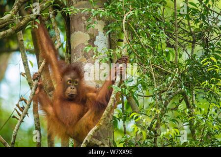 Junge bornesischen Orang-utan (Pongo pygmaeus) in Bäumen, Tanjung Puting Nationalpark, Borneo-Kalimatan, Indonesien. - Stockfoto
